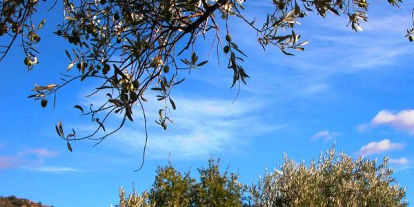 olves sur olivier à Elcantara Volonne